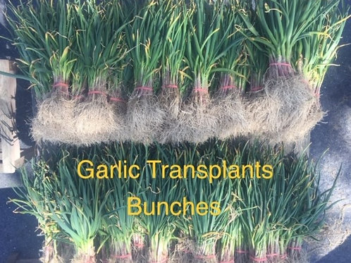 Garlic Transplants / priced per bunch