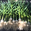 Thumbnail: Fresh Garlic (bulb & stalk) / Priced per bunch of 3