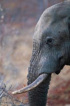 One of Botswana's many beautiful elaphants