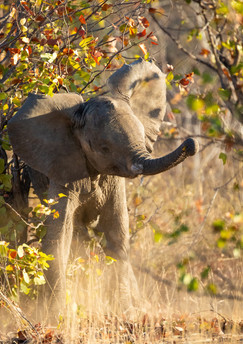 An elephant calf trumpets in an adorable display of territorial dominance, Timbivati, South Africa