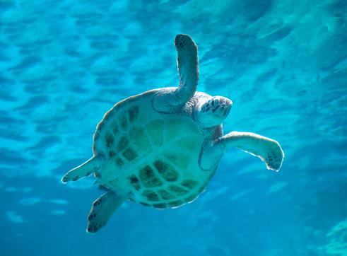 Sea Turtle in Okinawa Churaumi Aquarium, Japan