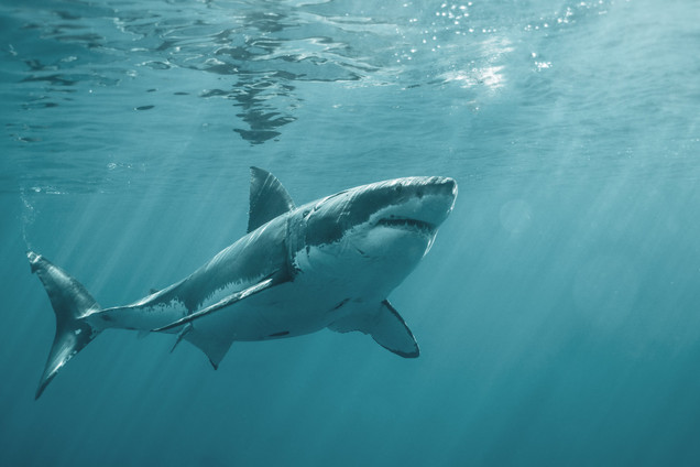 Great White off the coast of Isla Guadalupe