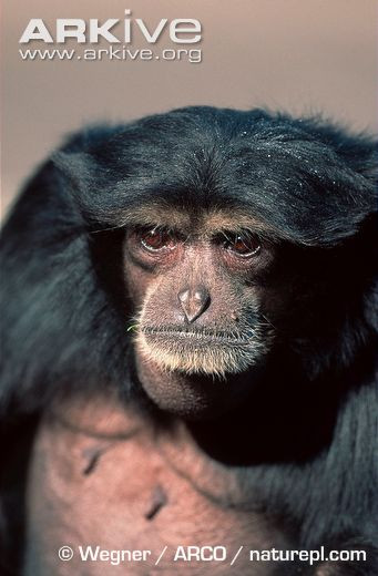 Close-up of female siamang