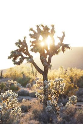 Joshua Tree Sun