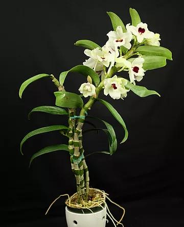 Dendrobium_Jaxma Orchids 3.png