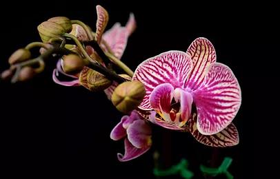 Phalaenopsis_JaxmaOrchids3.png