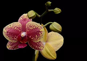 Phalaenopsis_JaxmaOrchids1.png