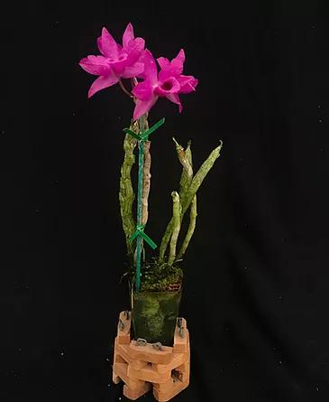 Dendrobium_Jaxma Orchids 1.png