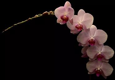 Phalaenopsis_JaxmaOrchids2.png