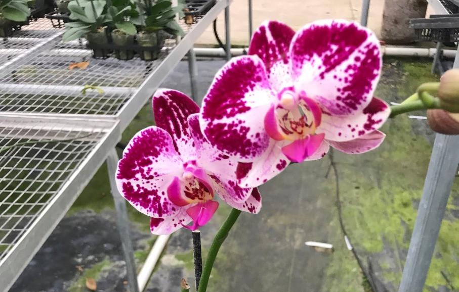 Orchids Wholesale USA