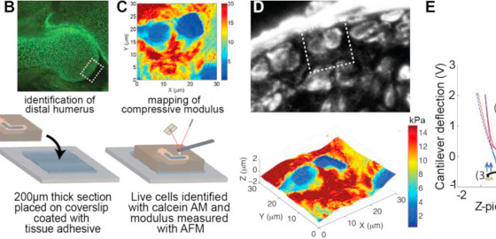 Knockdown of the pericellular matrix molecule perlecan lowers in situ cell and matrix stiffness in d