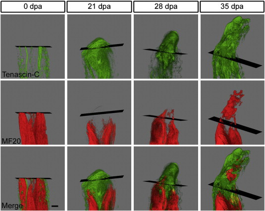 A transitional extracellular matrix instructs cell behavior during muscle regeneration