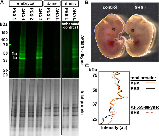 Incorporation of non-canonical amino acids into the developing murine proteome