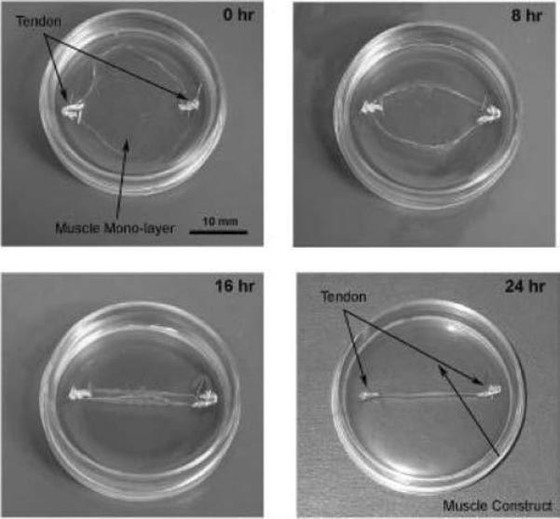 Structure and functional evaluation of tendon-skeletal muscle constructs engineered in vitro