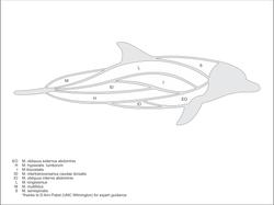dolphinFountain-musculature