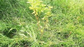 Au fost finalizate lucrările de îngrijire a pădurii plantate în această primăvară pe r. Ichel