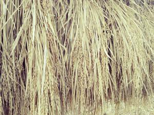 お米の収穫を終えると共にこの5年間を想う