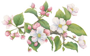 2 Apple Blossom Section Left.png