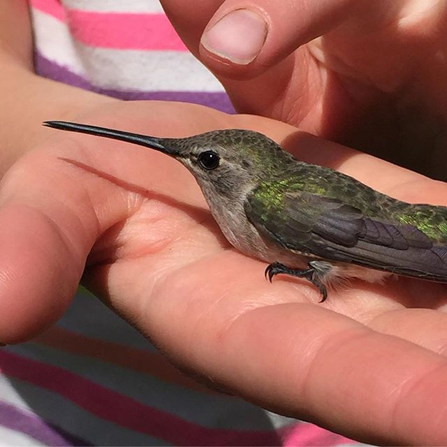 The girls found this stunned hummingbird and it wouldn't fly off.jpg After helping it to some sugar