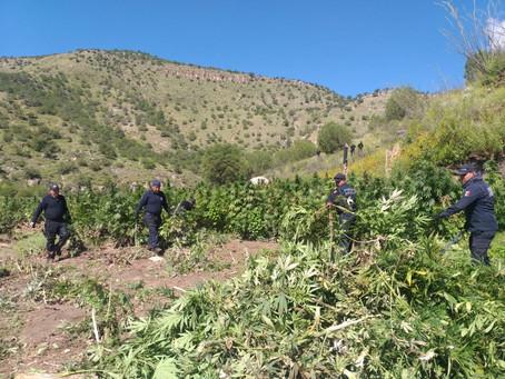 Localizan dos plantíos de marihuana y campamentos en Nonoava