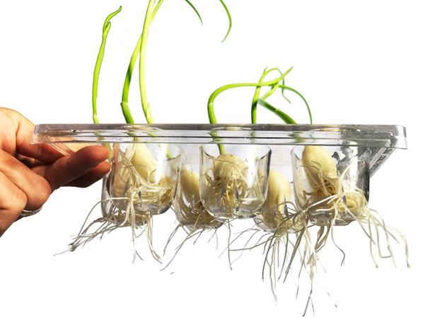 Root System (Garlic)