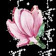 Magnolia-7.png