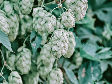 What are Hops? | The Hop Valley FAQs