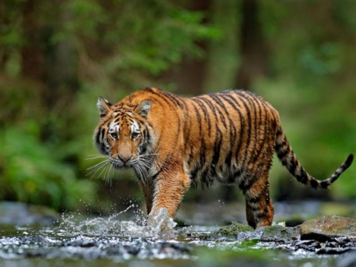 The Path of the Good Tiger