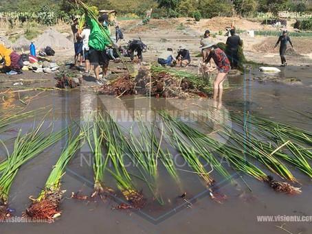 Siembran tul en las orillas del Lago Atitlán