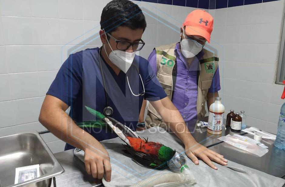El quetzal fue atendido por veterinarios en Retalhuleu para iniciar su recuperación. (Foto: CONAP)