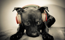 dog-listening-to-red-beats-by-dre-solo-hd.jpg