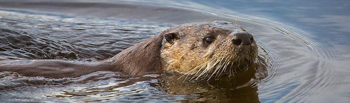 20150829-river-otter-1062574.jpg