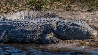 What living alongside crocodiles can teach us about coexisting with wildlife