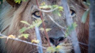 Lion-James S.jpg