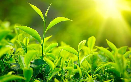 Tea-Leaves-Nature-Plants-Green-Sunlight-
