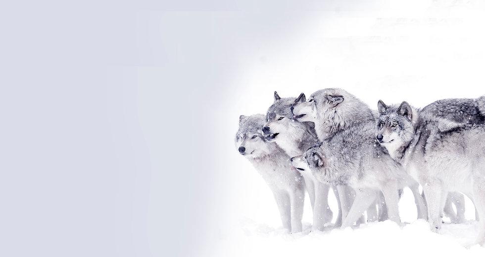 wolf eye light1 copy.jpg