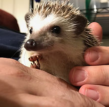 Prickle Pack Hedgehogs Illinois