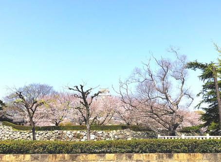 姫路城の桜がほぼ満開です。
