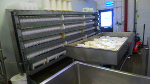 Four rows in the press of sheep cheese and 120 Yorkshire Goat Gouda on the curd table, draining for packing on Monday