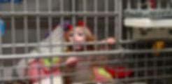 stress negli animali da laboratorio: piccola scimmia in isolamento