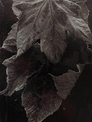 Hojas de arce, 1994