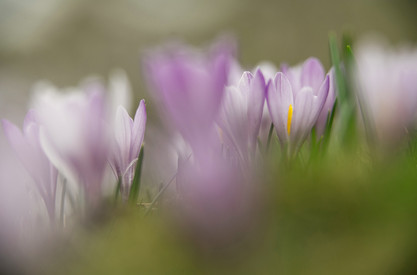Frühlingskrokus