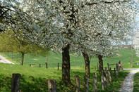Kirschblüte Hagen a.T.W.