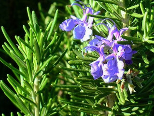 How Sniffing Rosemary Can Improve Memory By 75%?