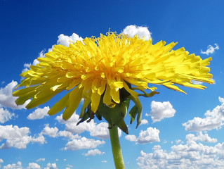 The Incredible Edible Dandelion: Using This Weed to the Fullest