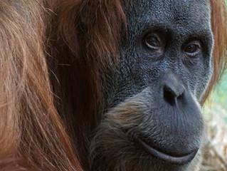 Meu DNA é 96% igual ao do Macaco. Então, a Bíblia está errada?