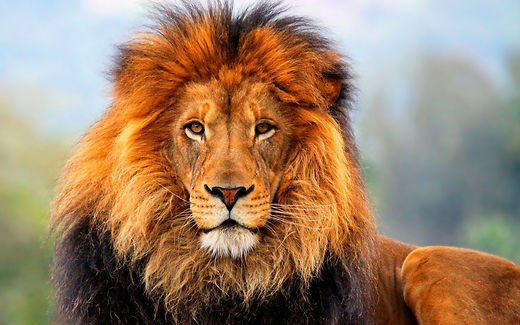 Free-Download-Lion-Desktop-Pictures.jpg