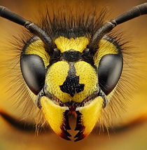 wasp head close up.jpg