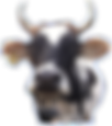 cow icon.png
