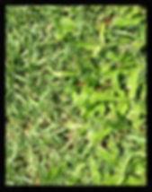 Carpetgrass Buffalo Turf NT supply turf, lawn darwin, turf dawin, humpty doo, Turf NT Darwin turfnt.com.au Kings Pride Buffalo, Darwin lawn grass turf